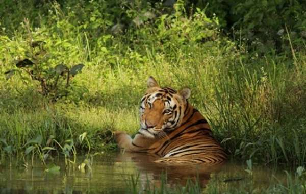 This Summer, Taj Invites You on a Trail of the Mysterious Bengal Tiger