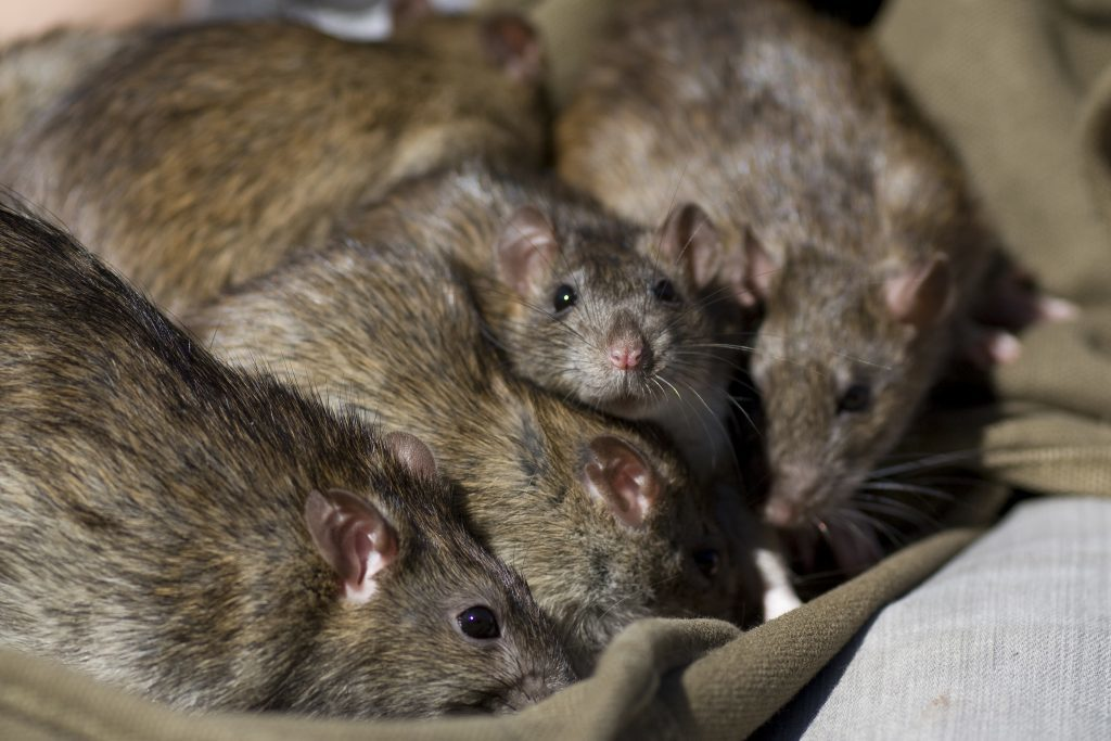 Rat Infestation – A Nightmare You Can Do Without — Saniex